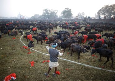 Gadhimai Mela known as animal sacrifice fest started despite protests.