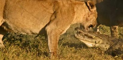 Don't touch My baby: Lionesses killled a crocodile
