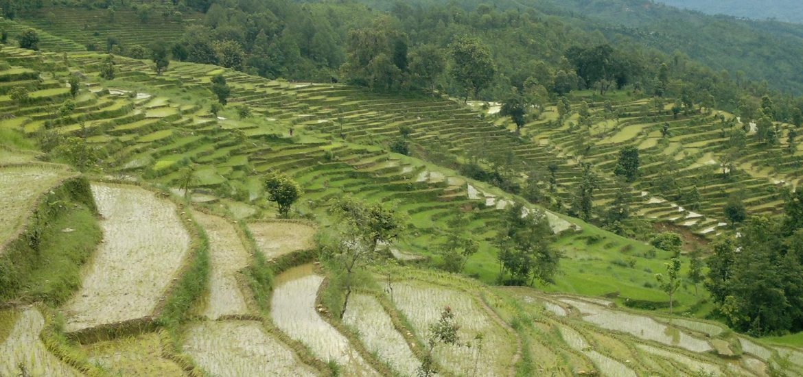 Rice terraces of Nepal