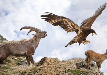 Hunting Eagle Amazing video