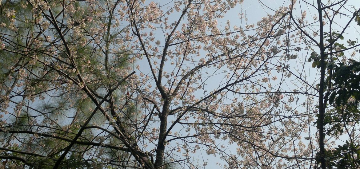 An Apricot Blossom