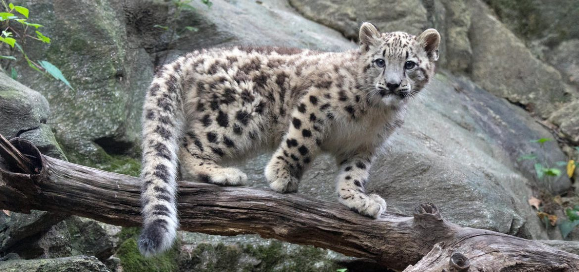 A very rare species of snow-leopard cobs with mother spotted in the Himalayas .