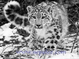 Snow Leopard - The Ghost of the Mountain