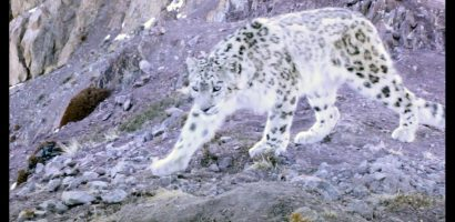 Snow Leopard – Ghost of the mountains