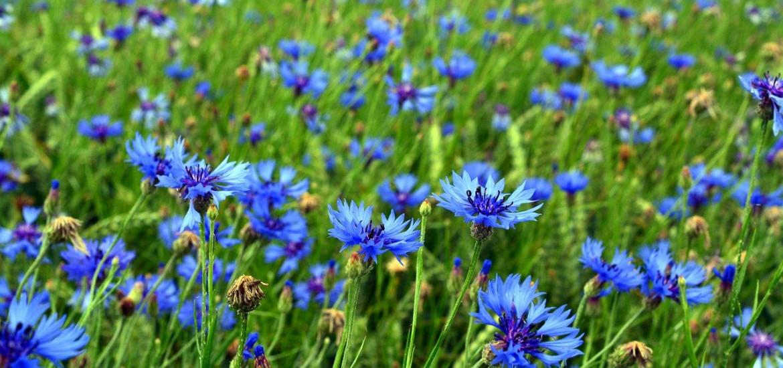 Cornflower petals blue