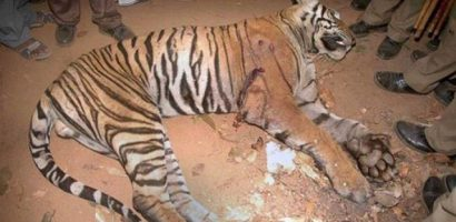 A Female Leopard Suspected to be a man-eater was shot dead in Motichur