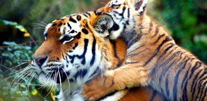 To Double Tigers Population By 2022 Nepal Seeks US$43 Million fund